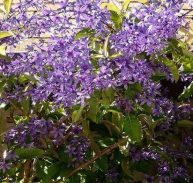 Purple Wreath - Petrea volublis  75mm