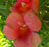Campsis grandiflora - Chinese Trumpet Vine (140mm pot)