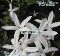 Scented Jasmine - Jasminum azoricum 125mm (Rare)