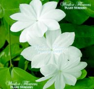 ROYAL JASMINE - Jasminum Rex (Rare) 125mm