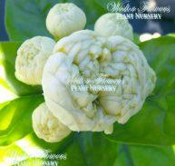 'CHINESE EMPEROR' - Jasminum sambac flore plena 125mm
