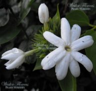 ARABIAN JASMINE - Jasminum sambac 125mm
