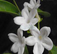STEPHANOTIS FLORIBUNDA - Madagascar Jasmine 125mm