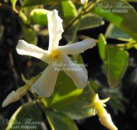 Trachelospermum jasminoides variegata - VARIEGATED CHINESE STAR JASMINE