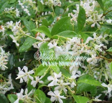 Trachelospermum jasminoides - Chinese Star Jasmine