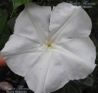 GIANT MOONFLOWER - Ipomoea alba 125mm
