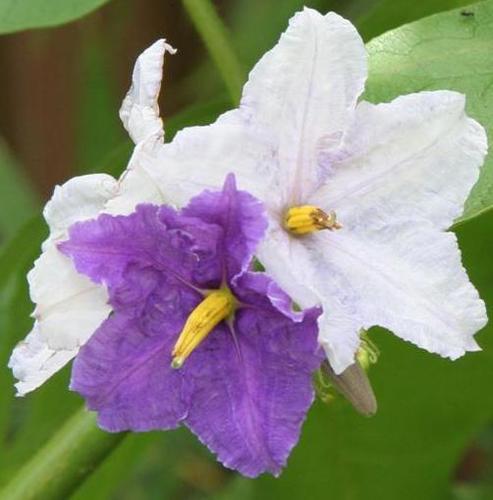 Solanum macranthum - Potato Tree (Rare)