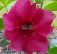 CHERRIES JUBILEE - Allamanda Cathartica 125mm