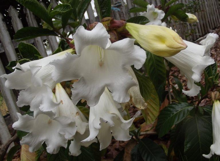HERALDS TRUMPET - Beaumontia grandiflora 125 mm