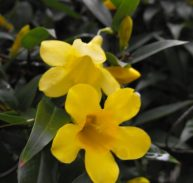 CAROLINA JESSAMINE - Gelsemium sempervirens 125mm