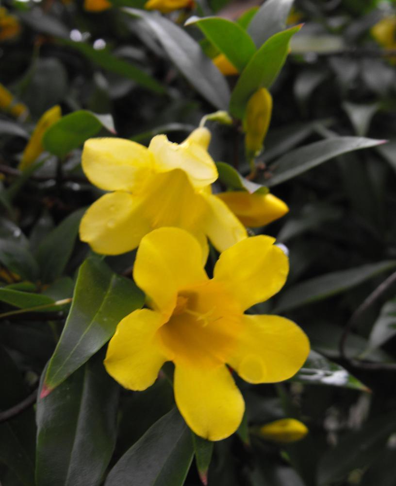 Carolina Jessamine Gelsemium Sempervirens 125mm Weslor Flowers