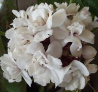 CASHMERE BOUQUET - Clerodendrum chinense var. chinense 125mm