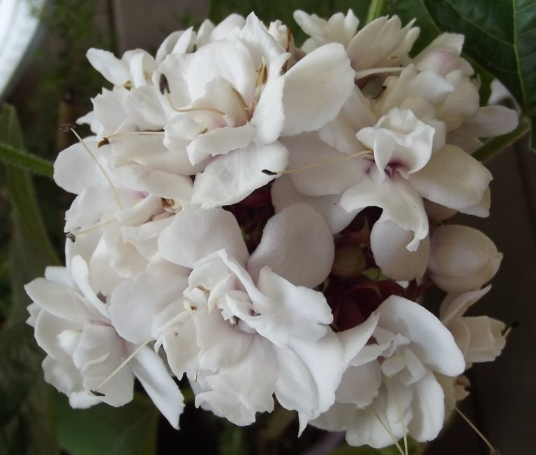 CASHMERE BOUQUET - Clerodendrum chinense var. chinense 125mm