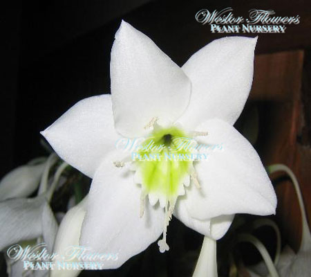 Eucharis grandiflora - Amazon Lily