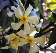 JAPANESE STAR JASMINE - Trachelospermum asiaticum  140mm
