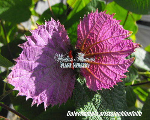 BOW TIE VINE - Dalchampia aristolochiaefolia 125mm