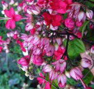 Pink Bleeding Heart vine - Clerodendrum speciosum 75mm