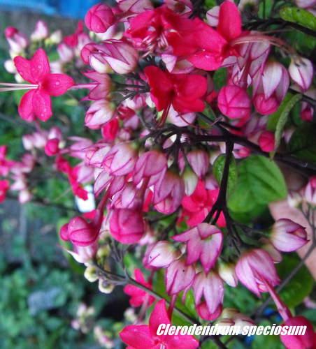Pink bleeding heart vine clerodendrum speciosum 125mm weslor pink bleeding heart vine clerodendrum speciosum 75mm mightylinksfo