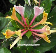 PURPLE LEAF HONEYSUCKLE - Lonicera japonica purpurea - 125mm
