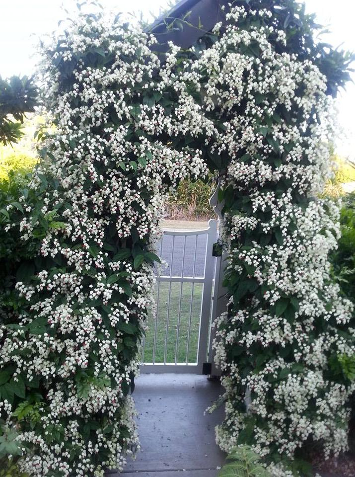 Clerodendrum thomsoniae as an arch