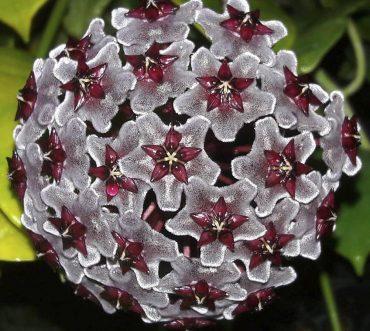Hoya publicalyx Royal Hawiian Purple net