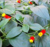 Manettia bicolour (3)