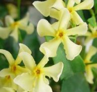 YELLOW CHINESE STAR JASMINE
