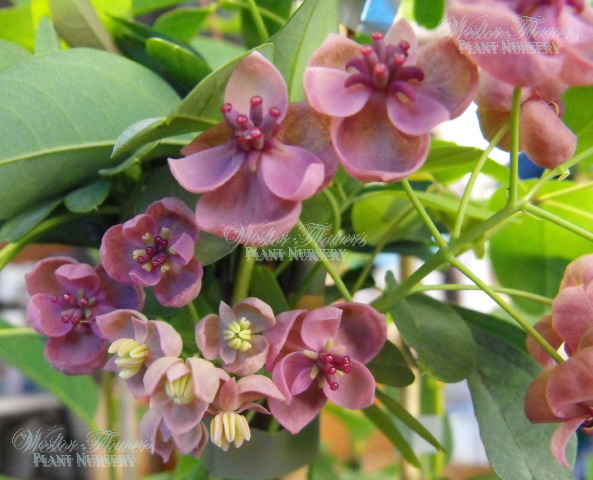 Chocolate vine akebia quinata 125mm weslor flowers plant nursery chocolate vine mightylinksfo