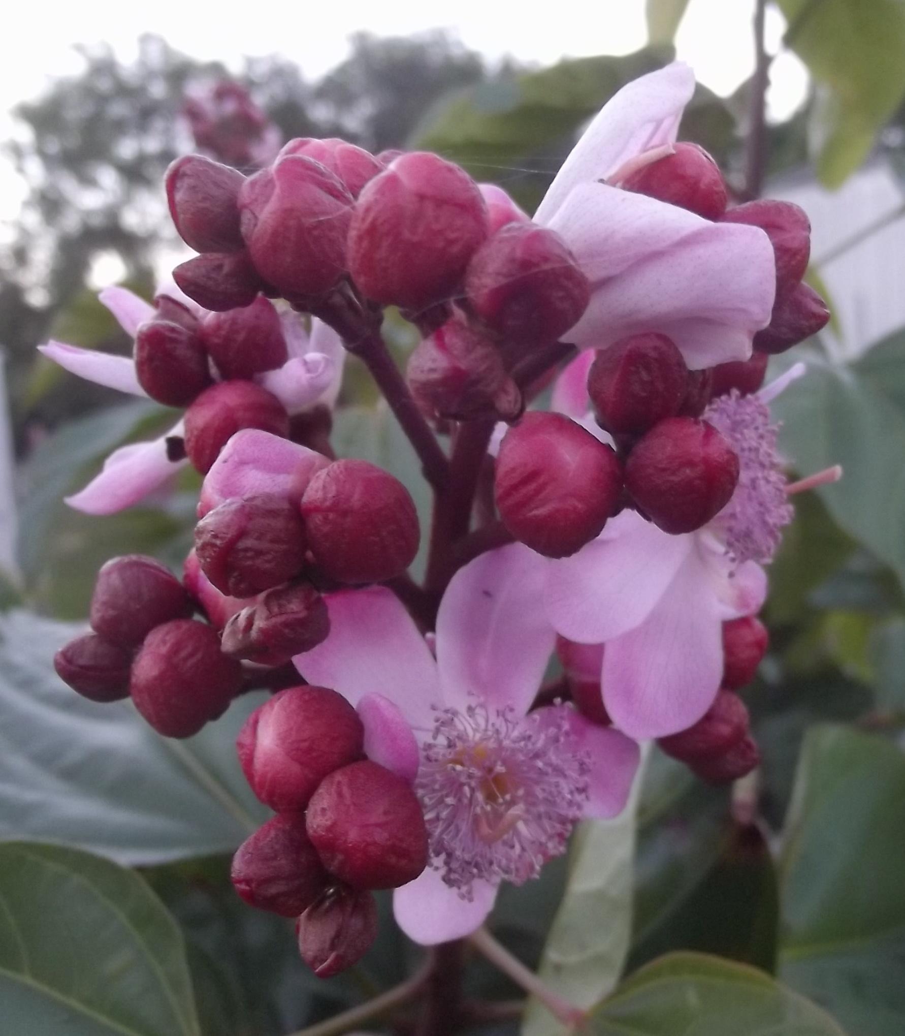 Lipstick Tree or Summer Hibiscus