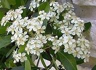 pyracanta-coccinea-1