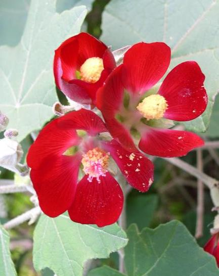 Mexican Mallow