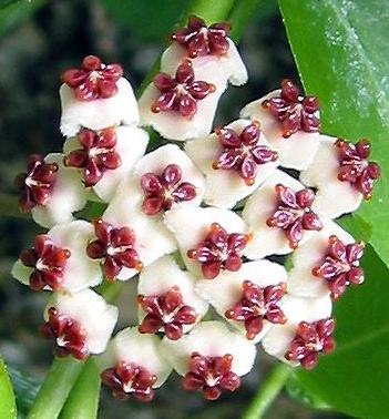valentine hoya hoya kerrii 75mm weslor flowers plant nursery. Black Bedroom Furniture Sets. Home Design Ideas