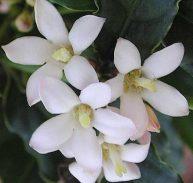 African Gardenia