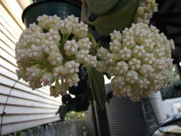 Hoya pacyclada