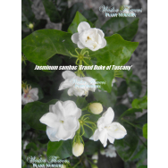 'GRAND DUKE OF TUSCANY' – Jasminum sambac flore plena 125mm