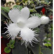 LACE FLOWER VINE – Episcea dianthiflora 130mm Hanging Basket