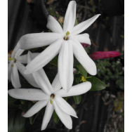 STARRY JASMINE – Jasminum multipartitum 125mm