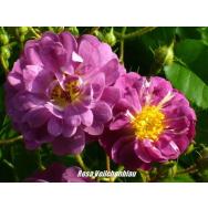 CLIMBING ROSE – Veilchenblau 140mm