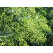 NIGHT SCENTED CESTRUM – Cestrum nocturnum 125mm