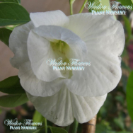 BUTTERFLY PEA DOUBLE WHITE FORM – Clitorea ternatea alba flore plena 125mm