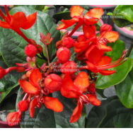 RED GLORY BOWER VINE – Clerodendrum splendens 125mm