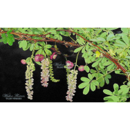 CHOCOLATE VINE – Akebia longirascimosa (Rare) 125mm
