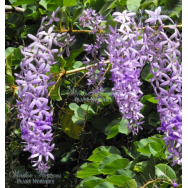 'PURPLE PASSION' – Petrea volubilis kohautiana 125mm