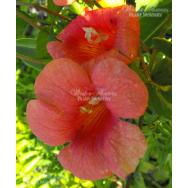 Campsis grandiflora – Chinese Trumpet Vine (140mm pot)
