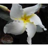 FRANGIPANI VINE – Chonemorpha fragrans- 125mm