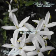 SCENTED JASMINE – Jasminum azoricum 125mm (Rare)