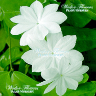 ROYAL JASMINE – Jasminum Rex (Rare) 125mm