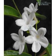 MADAGASCAR JASMINE – Stephanotis floribunda 125mm