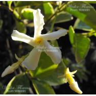 VARIEGATED CHINESE STAR JASMINE – Trachelospermum jasminoides variegata – 125mm