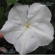 GIANT MOONFLOWER – Ipomoea alba 125mm